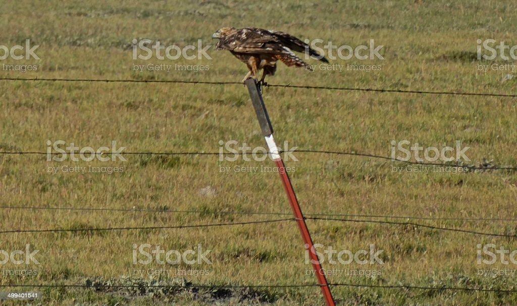 Golden Eagle Hawk Roar stock photo