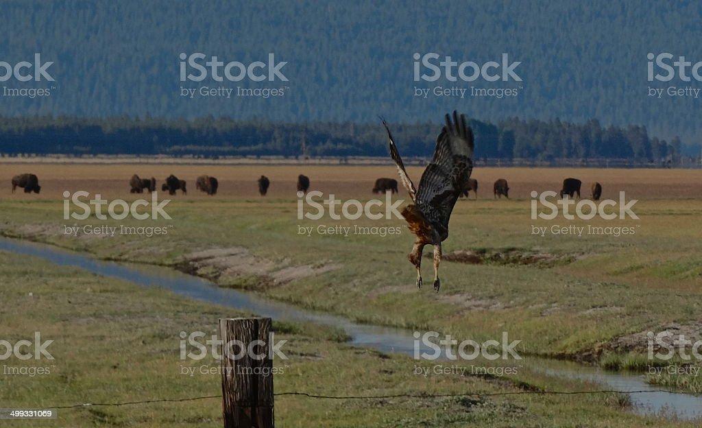 Golden Eagle Hawk Wings stock photo