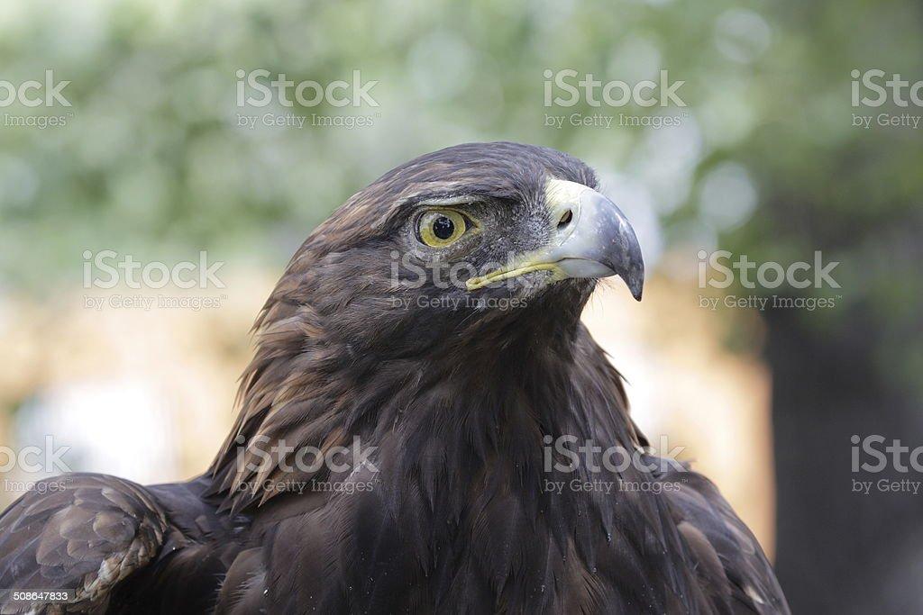 Golden Eagle Head Close-Up stock photo