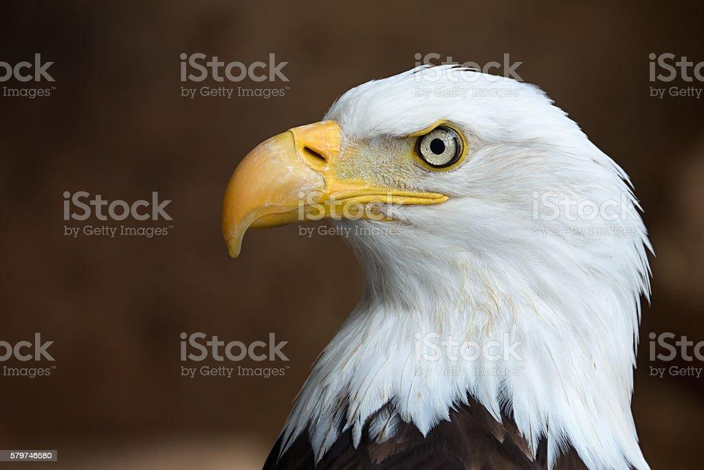 Golden Eagle head in profile stock photo