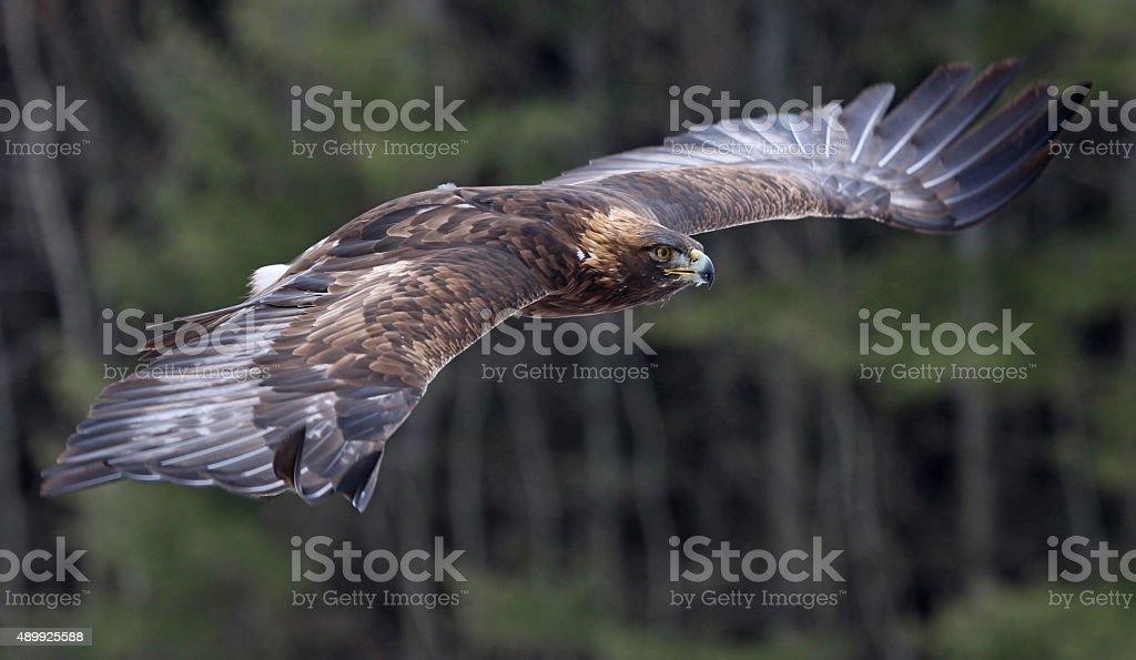 Golden Eagle in Flight stock photo