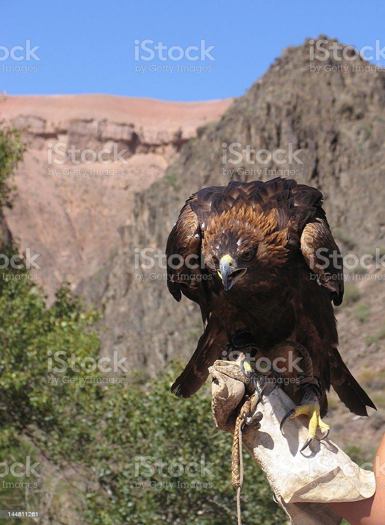 Golden eagle ( aquila chrysaetos) in Kazakhstan royalty-free stock photo