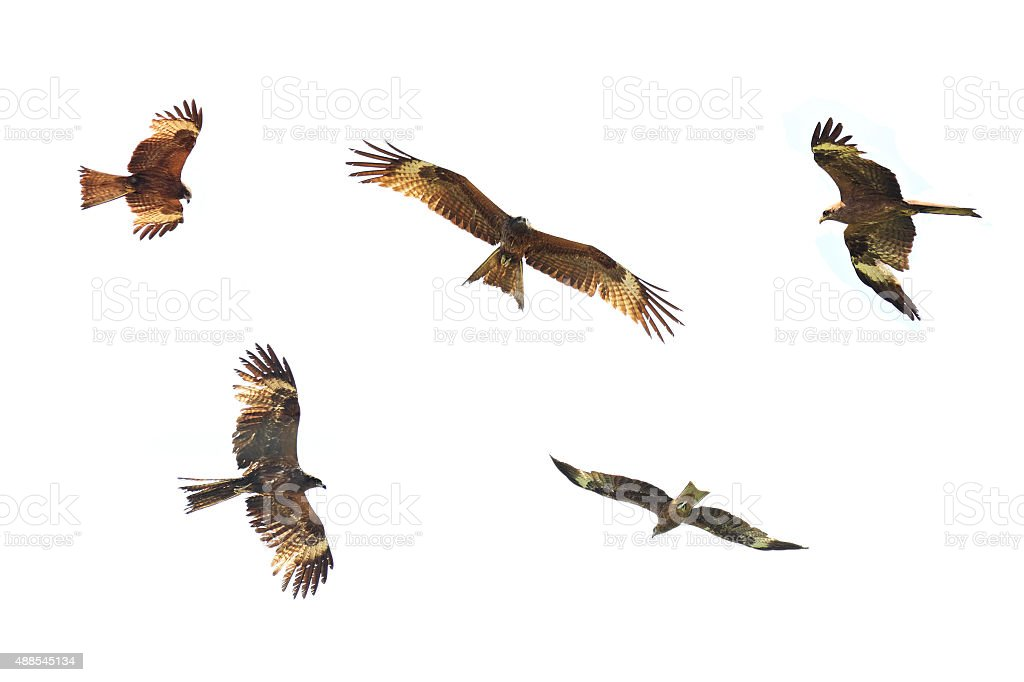 Golden Eagle is flying on white background stock photo