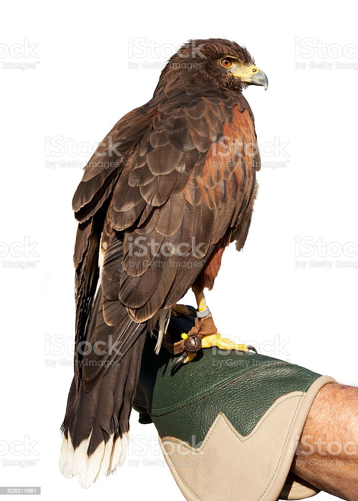 Golden Eagle Isolated on glove stock photo