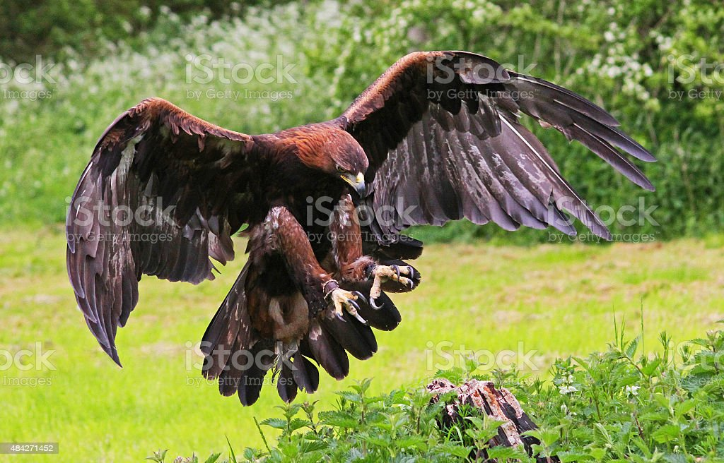 Golden Eagle landing on a tree stump. stock photo