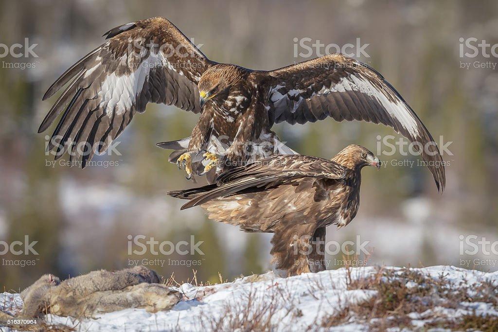 Golden eagle landing stock photo