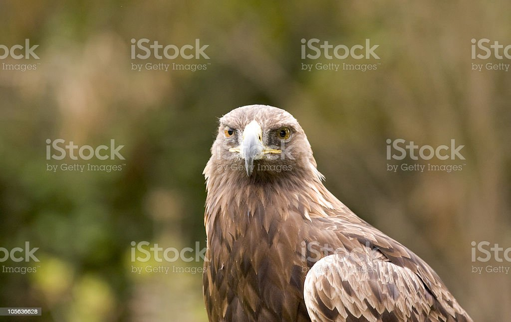 Golden Eagle Look royalty-free stock photo
