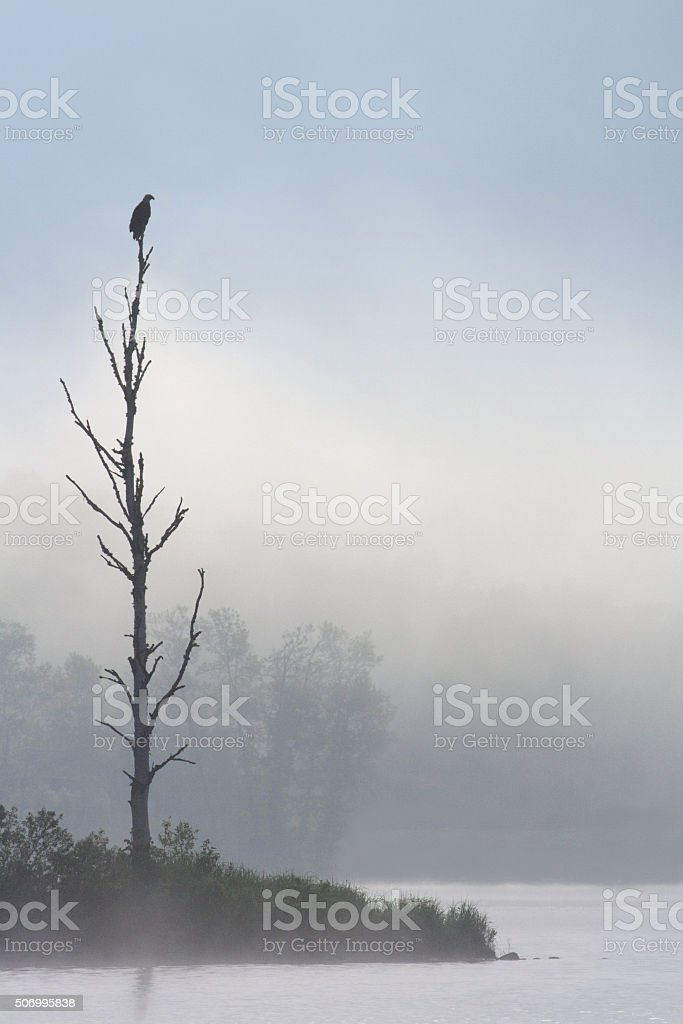 Golden Eagle on a perch stock photo