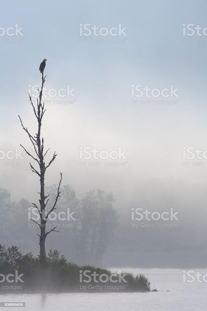 Golden Eagle on a perch stock photo