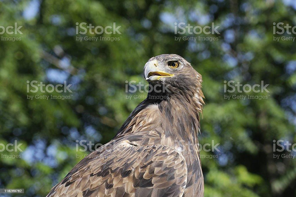 Golden eagle stock photo