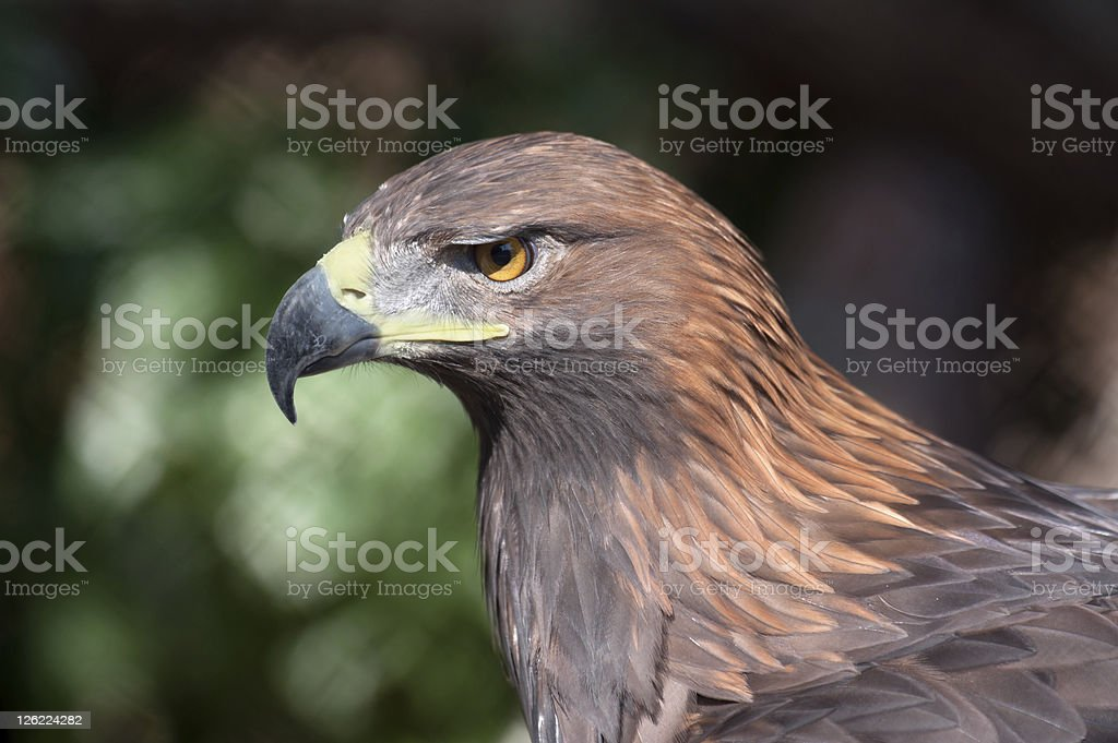 Golden eagle - (Aquila chrysaetos) royalty-free stock photo