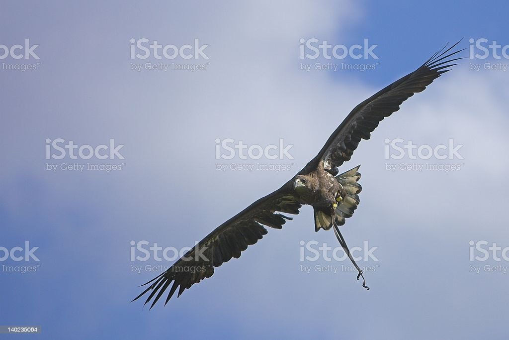 Golden Eagle #6 royalty-free stock photo
