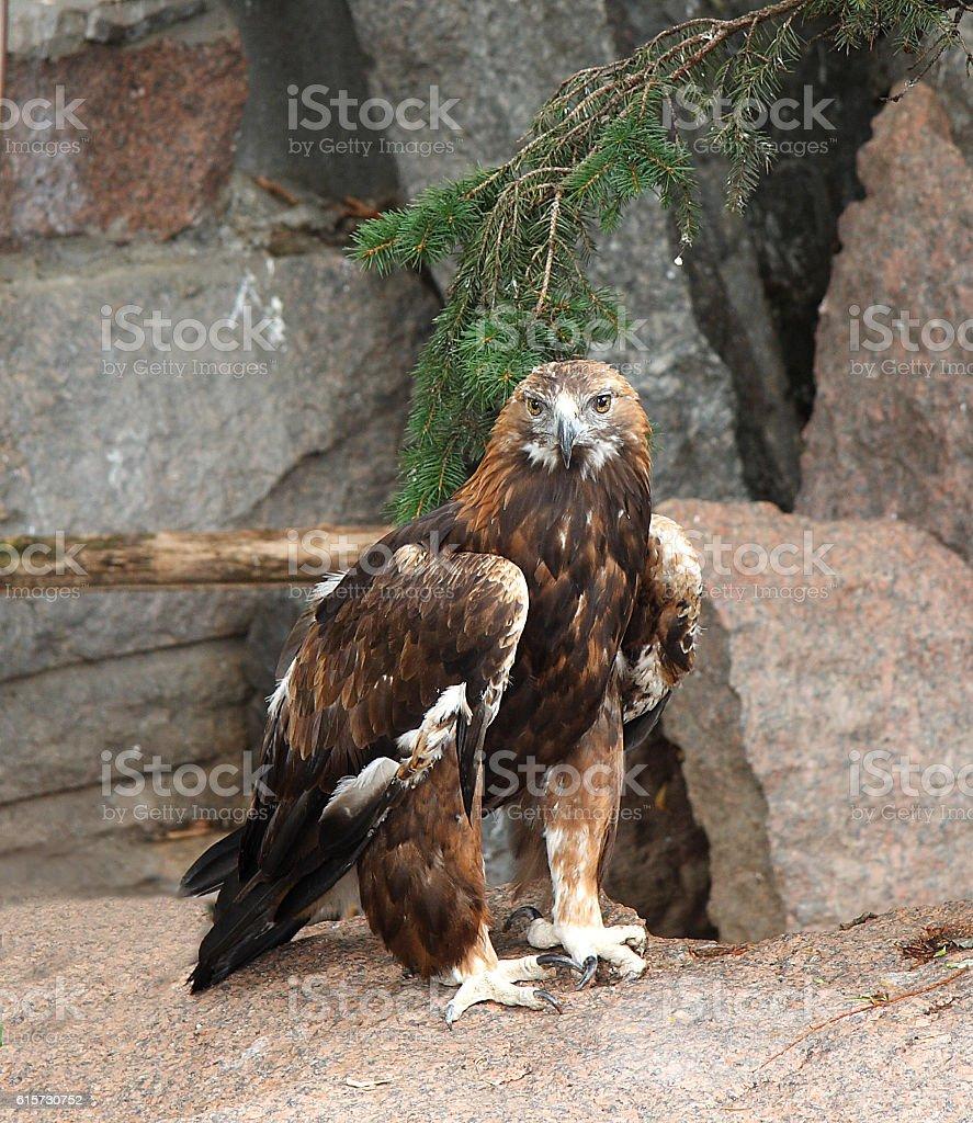 Golden eagle royalty-free stock photo