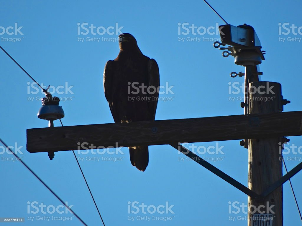 Golden Eagle Power Shadow stock photo