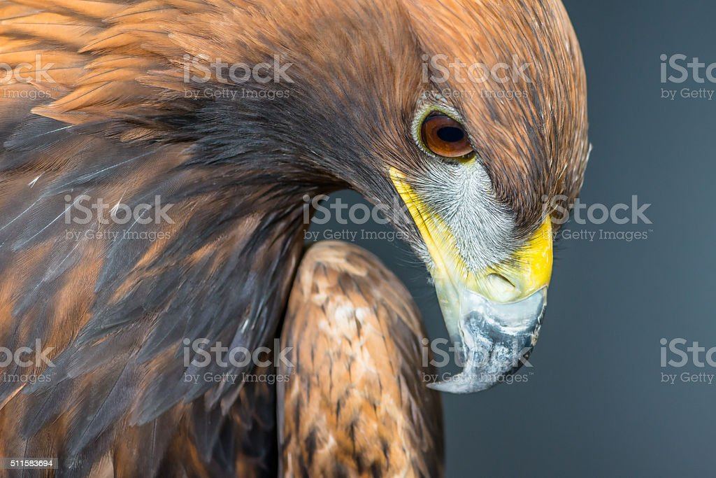 Golden Eagle profile portrait stock photo