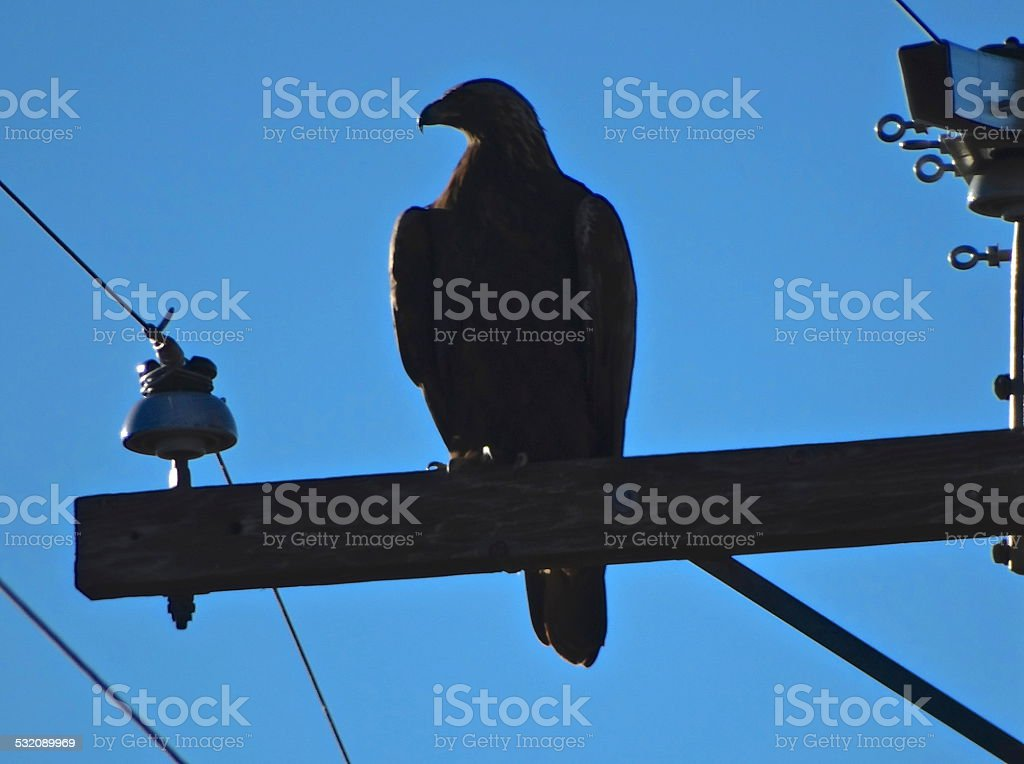 Golden Eagle Shadow Nape stock photo