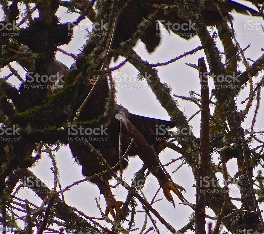 Golden Eagle Talons stock photo