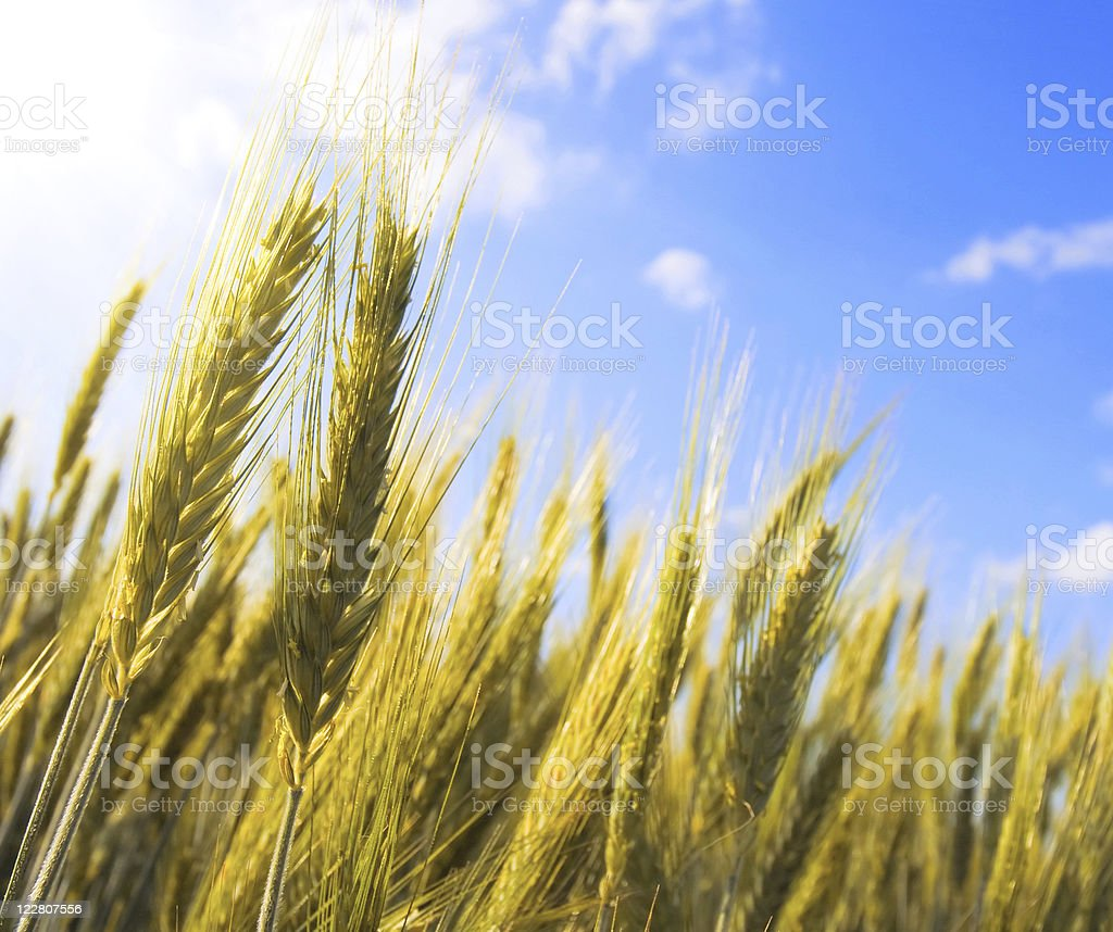 Golden ears of wheat agains the blue sky stock photo