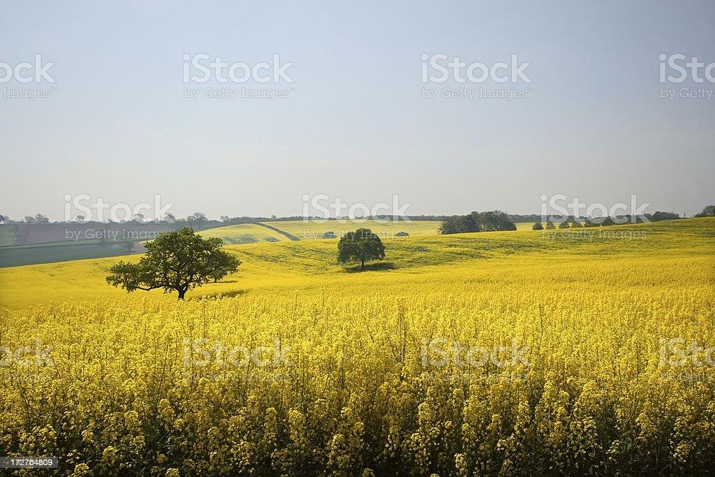 Golden english fields stock photo