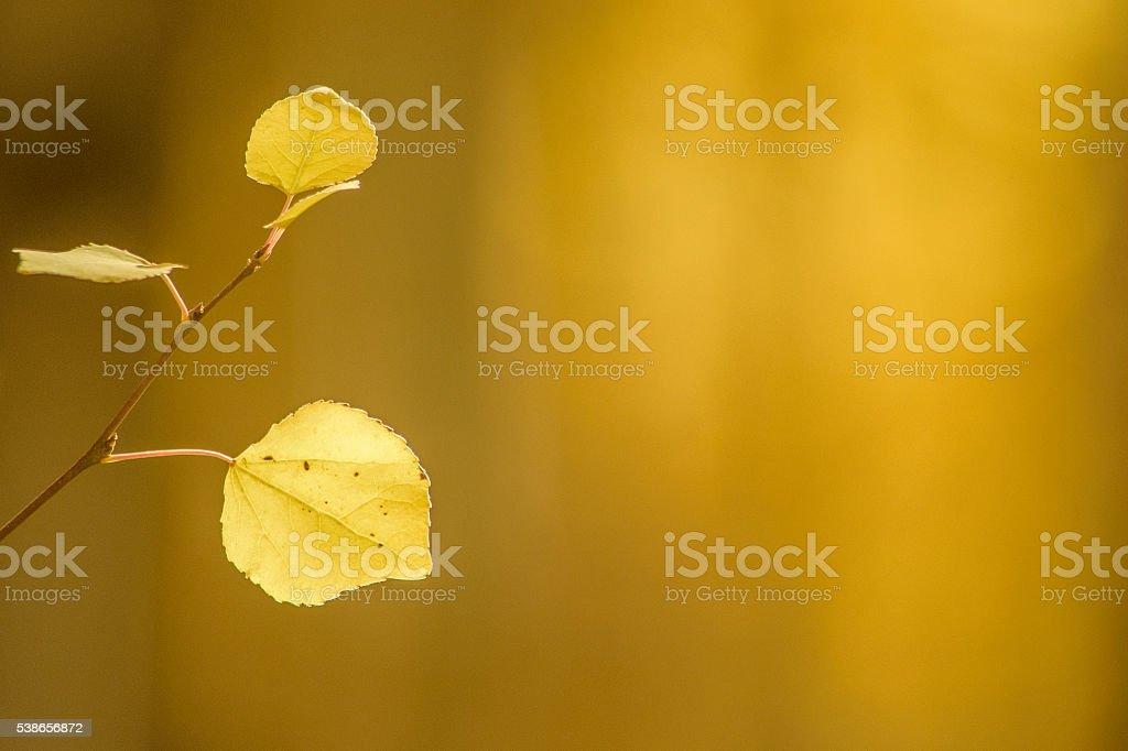 Golden Fall Aspen Leaves stock photo