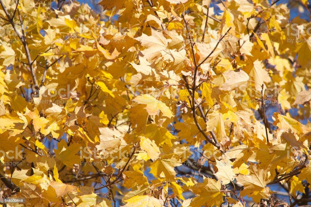 golden fall maple leaves stock photo