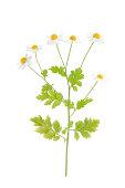 Golden Feverfew - Tanacetum parthenium