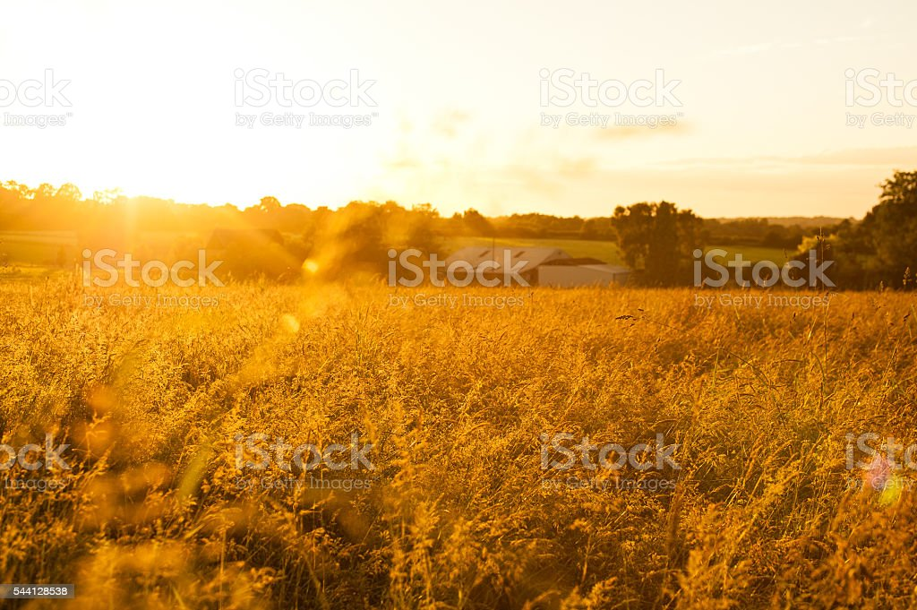 Golden field at sundown stock photo