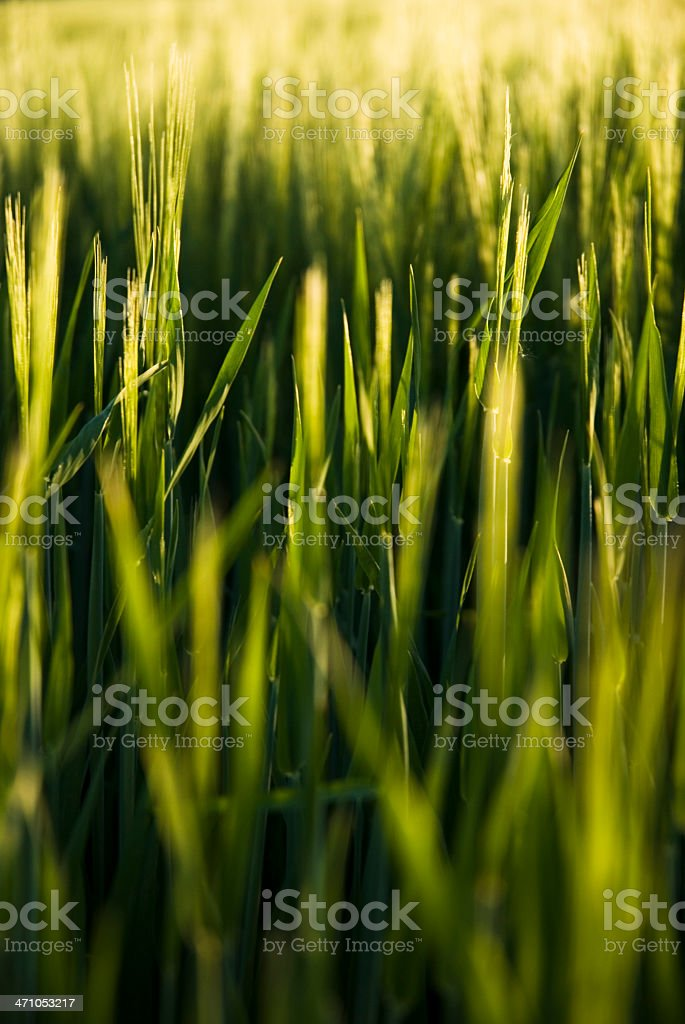 Golden Field Detail royalty-free stock photo