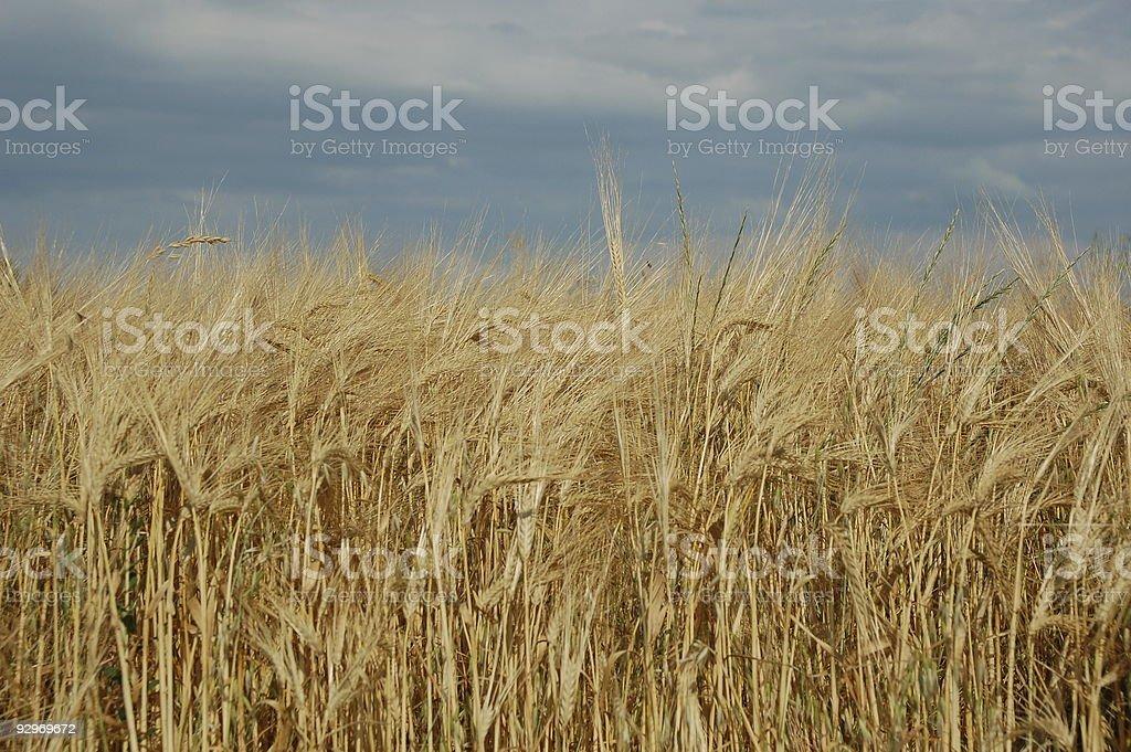 golden field of barley royalty-free stock photo