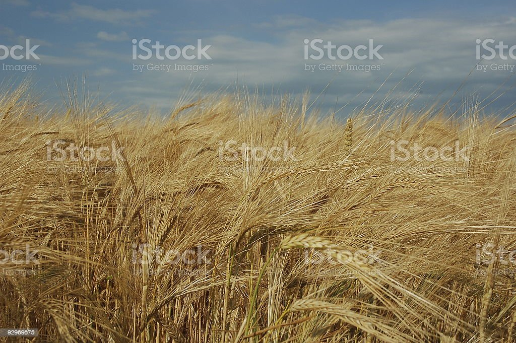 golden field of barley stock photo
