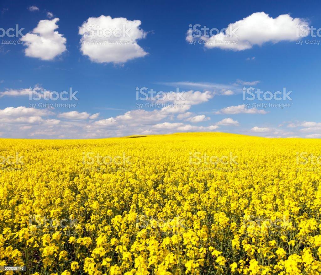 golden field of flowering rapeseed stock photo
