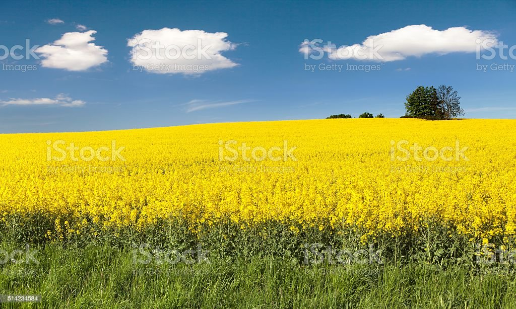 golden field of flowering rapeseed with beautiful clouds on sky stock photo