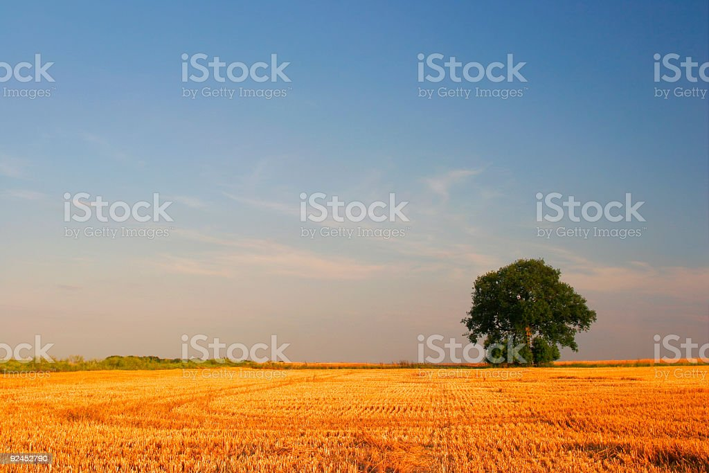 Golden Field royalty-free stock photo
