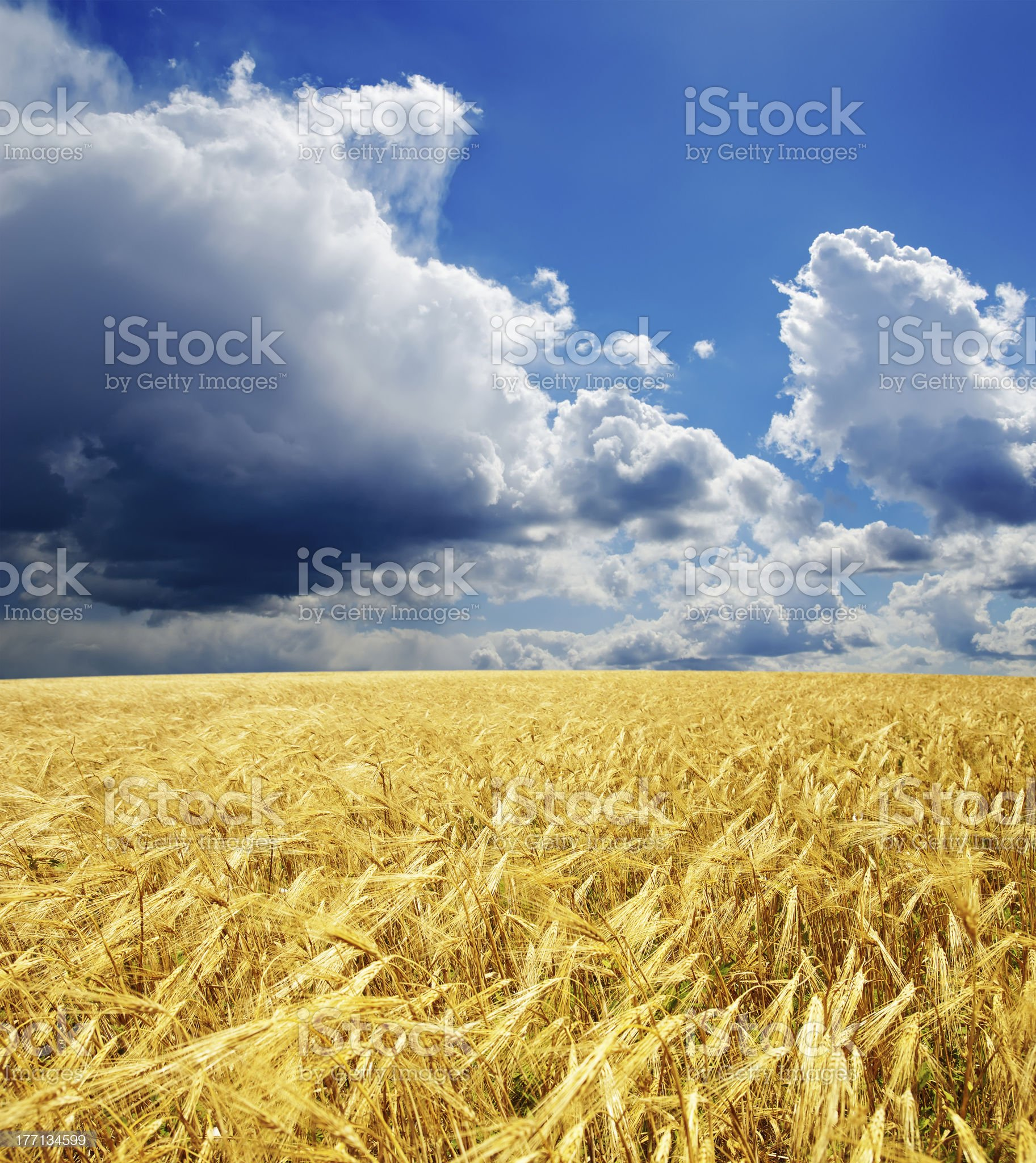 golden field under dramatic sky royalty-free stock photo