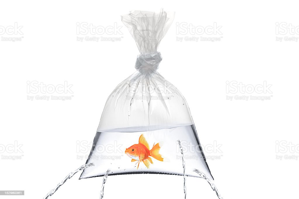 Golden fish in a bag with holes royalty-free stock photo
