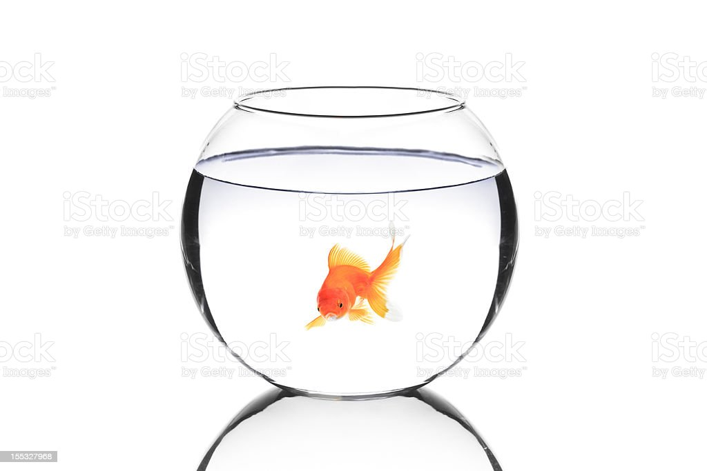 Golden fish in a bowl royalty-free stock photo