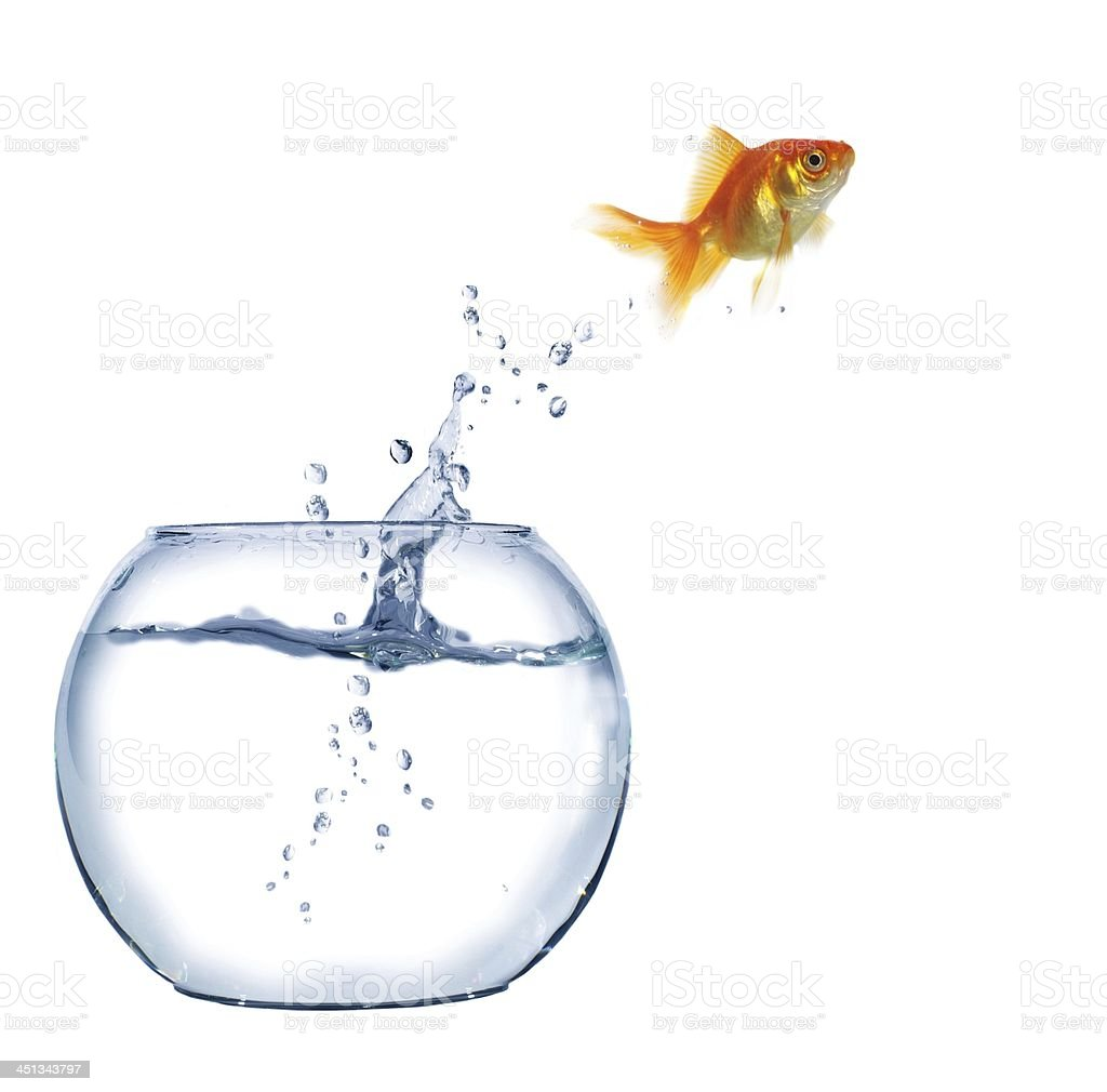 Golden fish jumping out of aquarium stock photo