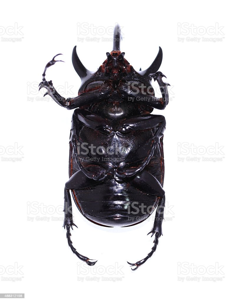 Golden five horned rhino beetle on a white background stock photo