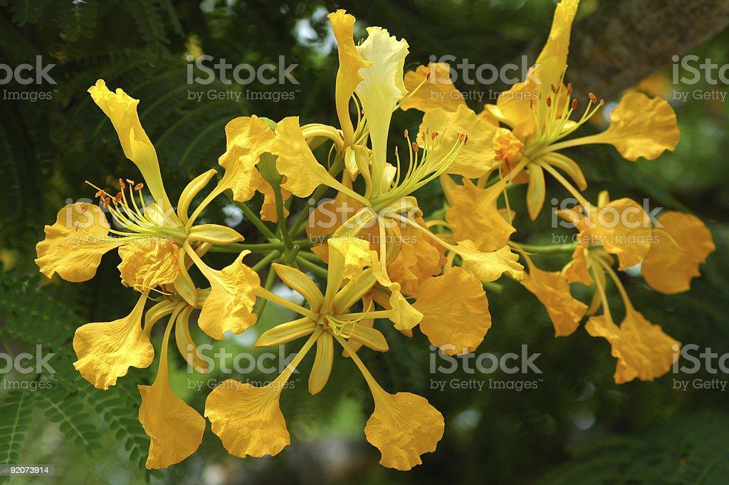 golden flamboyant tree, Delonix regia flavida, flowers stock photo