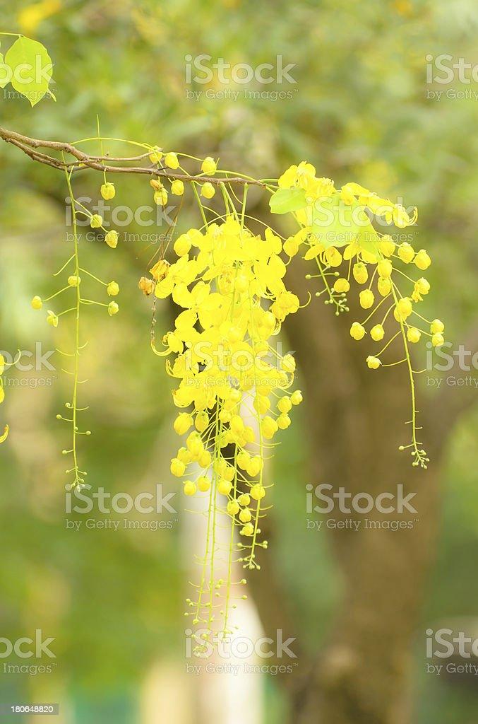 Golden Flower or Cassia Fistula royalty-free stock photo