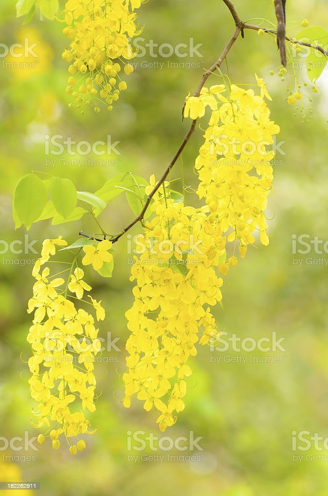 Golden Flower or Cassia Fistula royalty-free stock photo