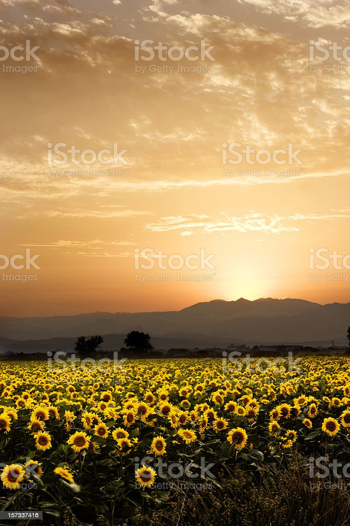 Golden flowers royalty-free stock photo