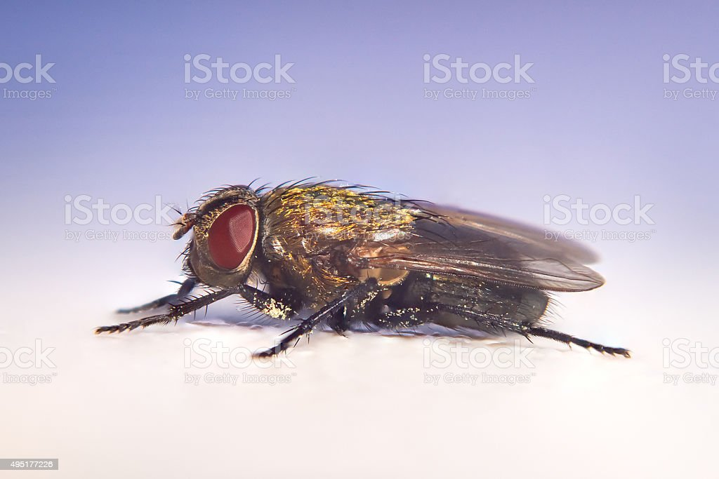 Golden Fly extrem close stock photo