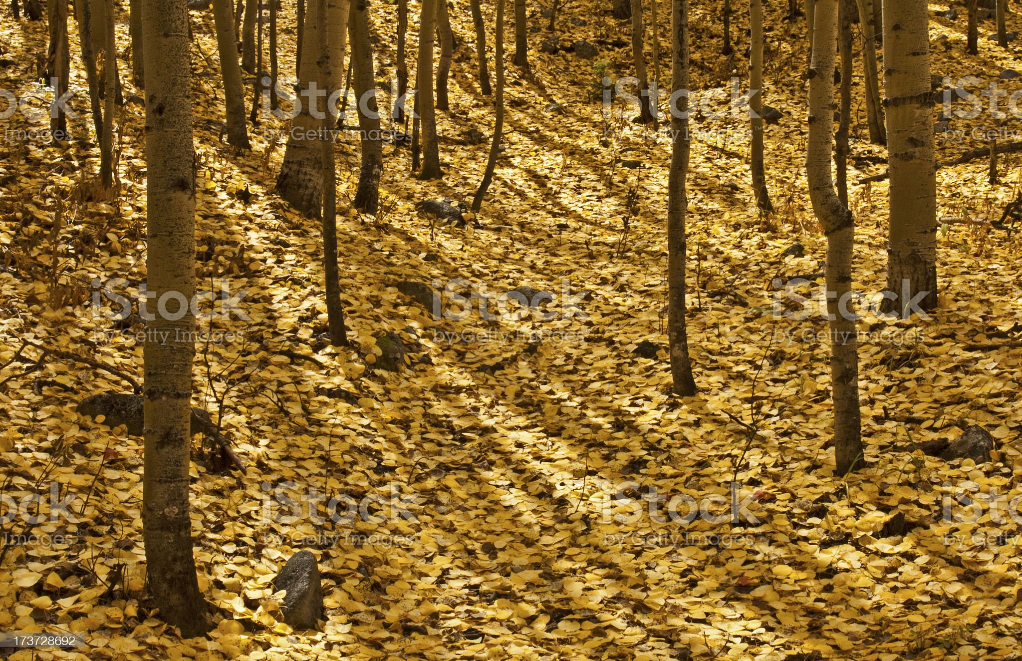 Golden Forest royalty-free stock photo