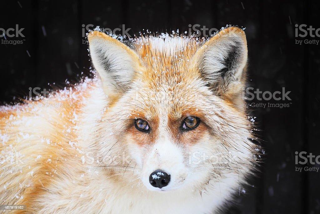 Golden fox in the snow stock photo