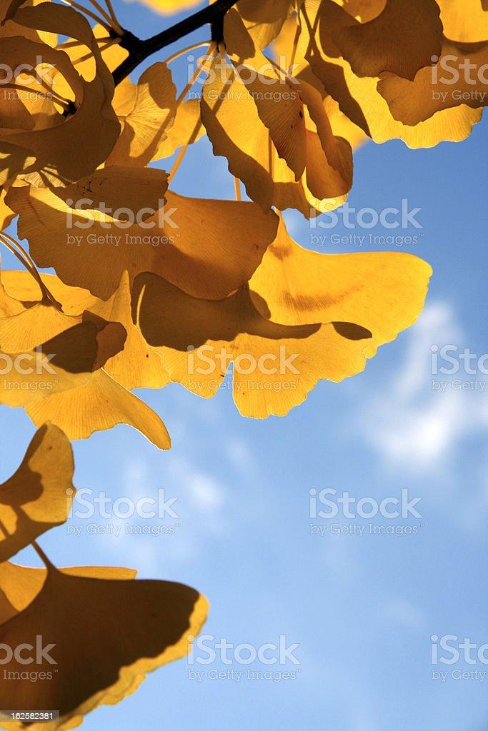Golden Ginkgo Biloba leaves royalty-free stock photo