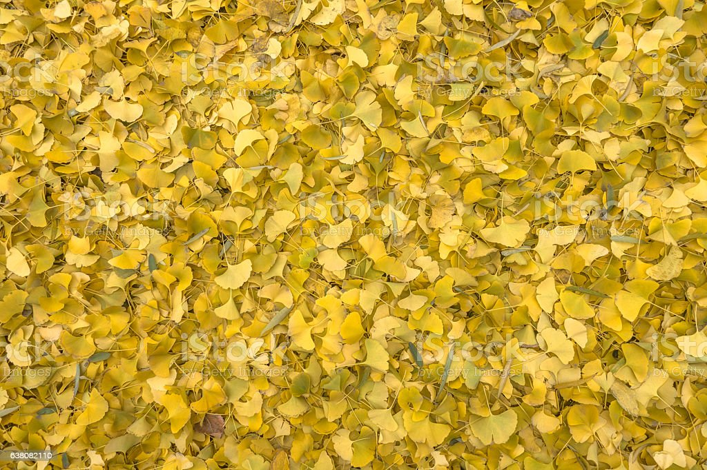 Golden ginkgo leaves on the ground stock photo