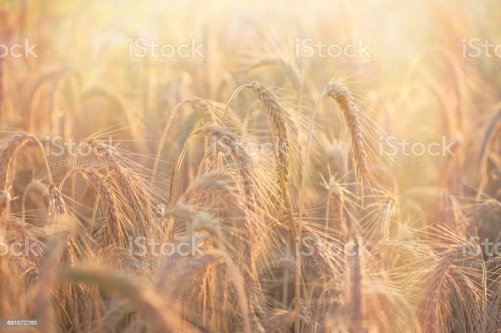 Golden grain of wheat, wheat field lit by sunlight in late afternoon stock photo