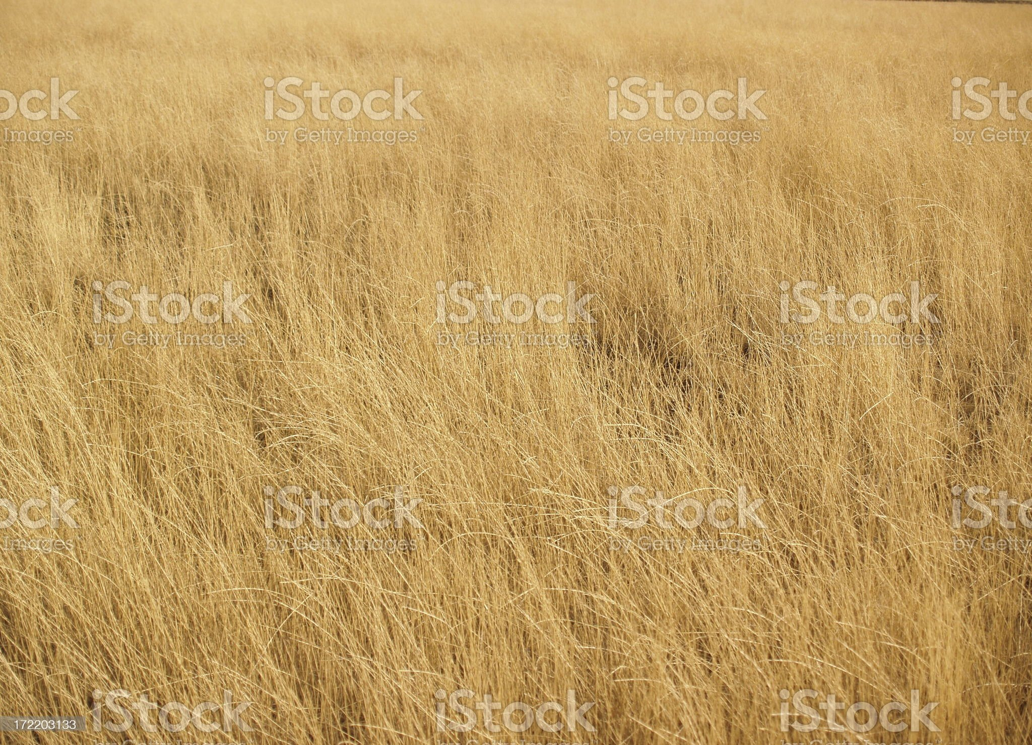 Golden Grass Background royalty-free stock photo
