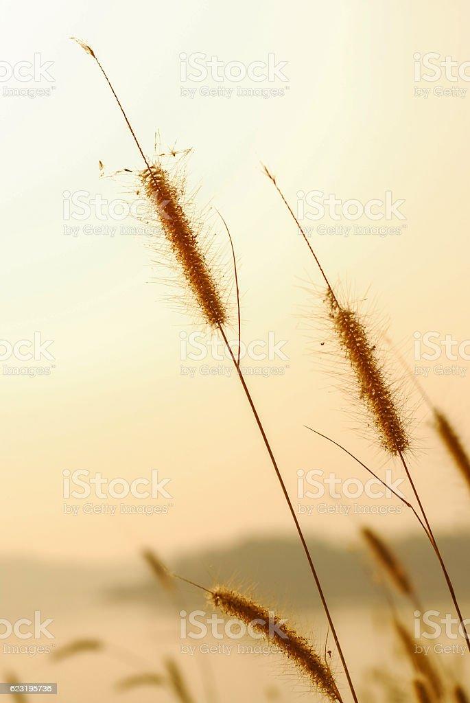golden grass field and sunny day, sunrise, sunset stock photo